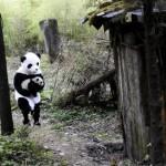 Bébé Panda se balade avec Papa