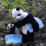 Bébé Panda va au dodo